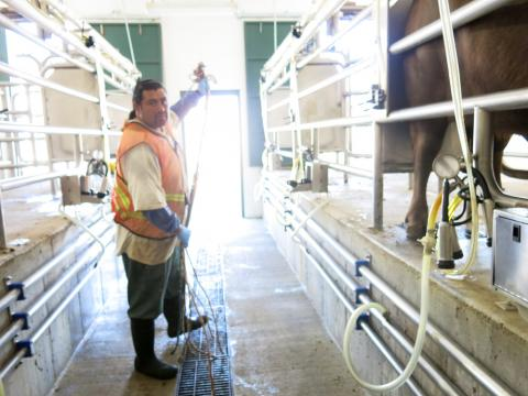 Feliciano Gomez, an inmate at the prison, is in charge of the milking parlor.