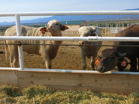 The Four Mile Correctional Center in Cañon City, Colo ., is home to what may well be the country's largest water buffalo dairy.