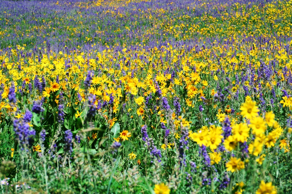 Mules Ear and Larkspur Fanfare in Crested Butte