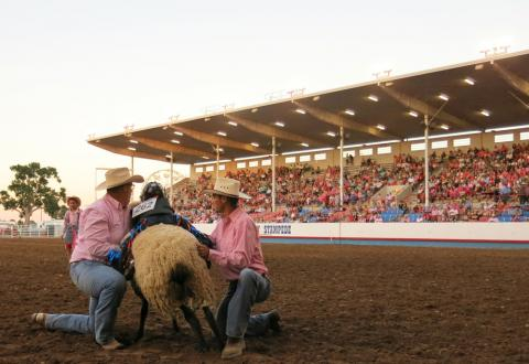 Two cowboys lift a mutton busting participant onto a wooly sheep at the Greeley Stampede rodeo.
