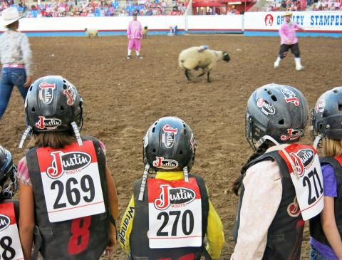 Mutton busters look on as a participant loses his grip on the sheep.
