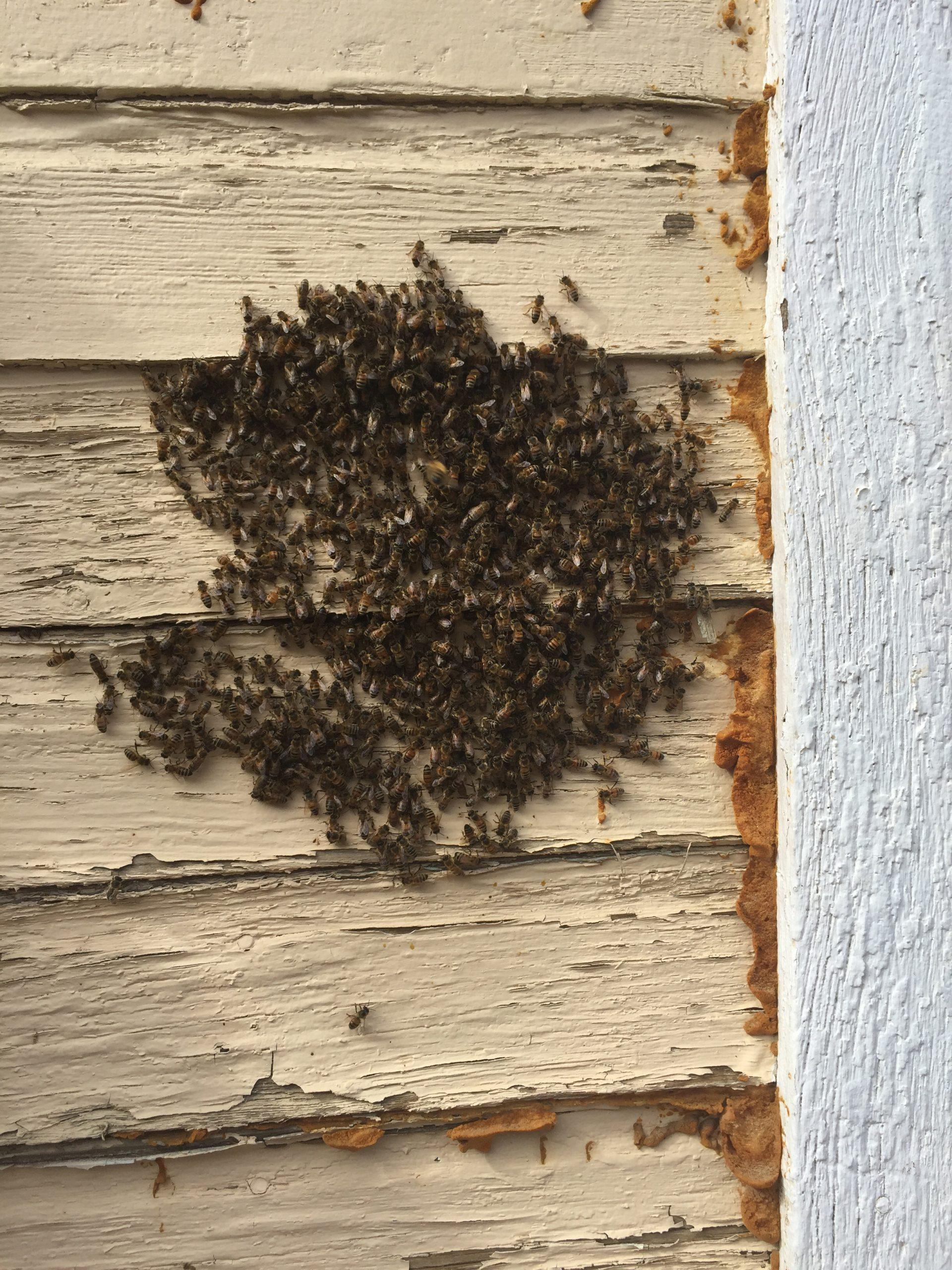 Feral honeybees entering and exiting a hive through the exterior wall of Olympia and Fletcher Holiday.