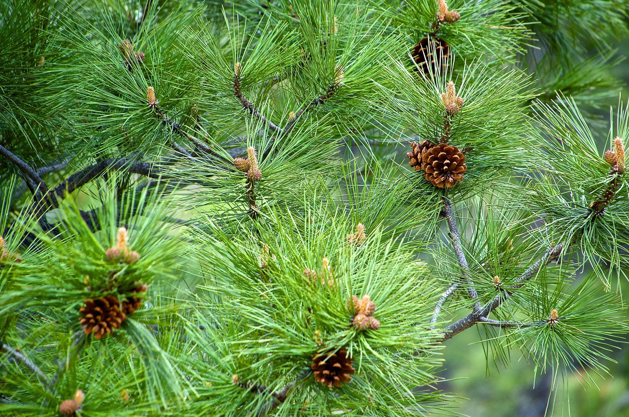 Ponderosa pine in Strawberry Fields