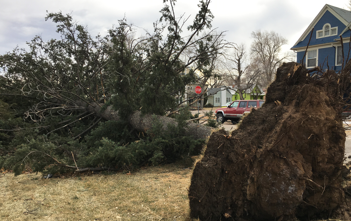 One of many large trees in Colorado Springs that fell as a result of strong winds Monday