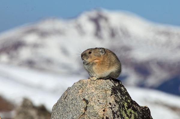 An American pika (Ochotona princeps) sits atop a stone in Rocky Mountain National Park.