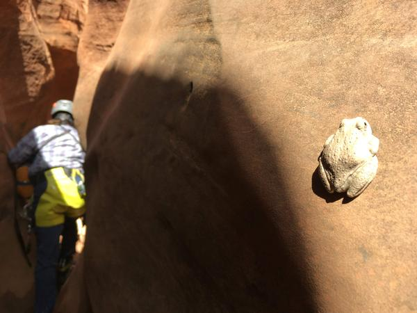 Pearly-white frogs with yellow bellies are some of the few living things in this slot canyon.