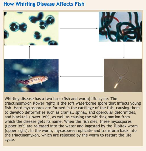 A graphic from Colorado Parks and Wildlife illustrating how whirling disease affects fish.