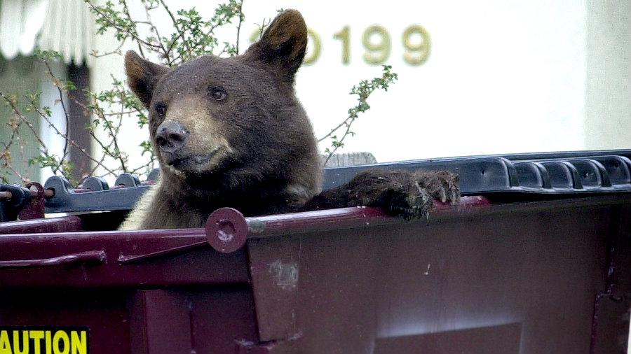 Photo: Bear in dumpster