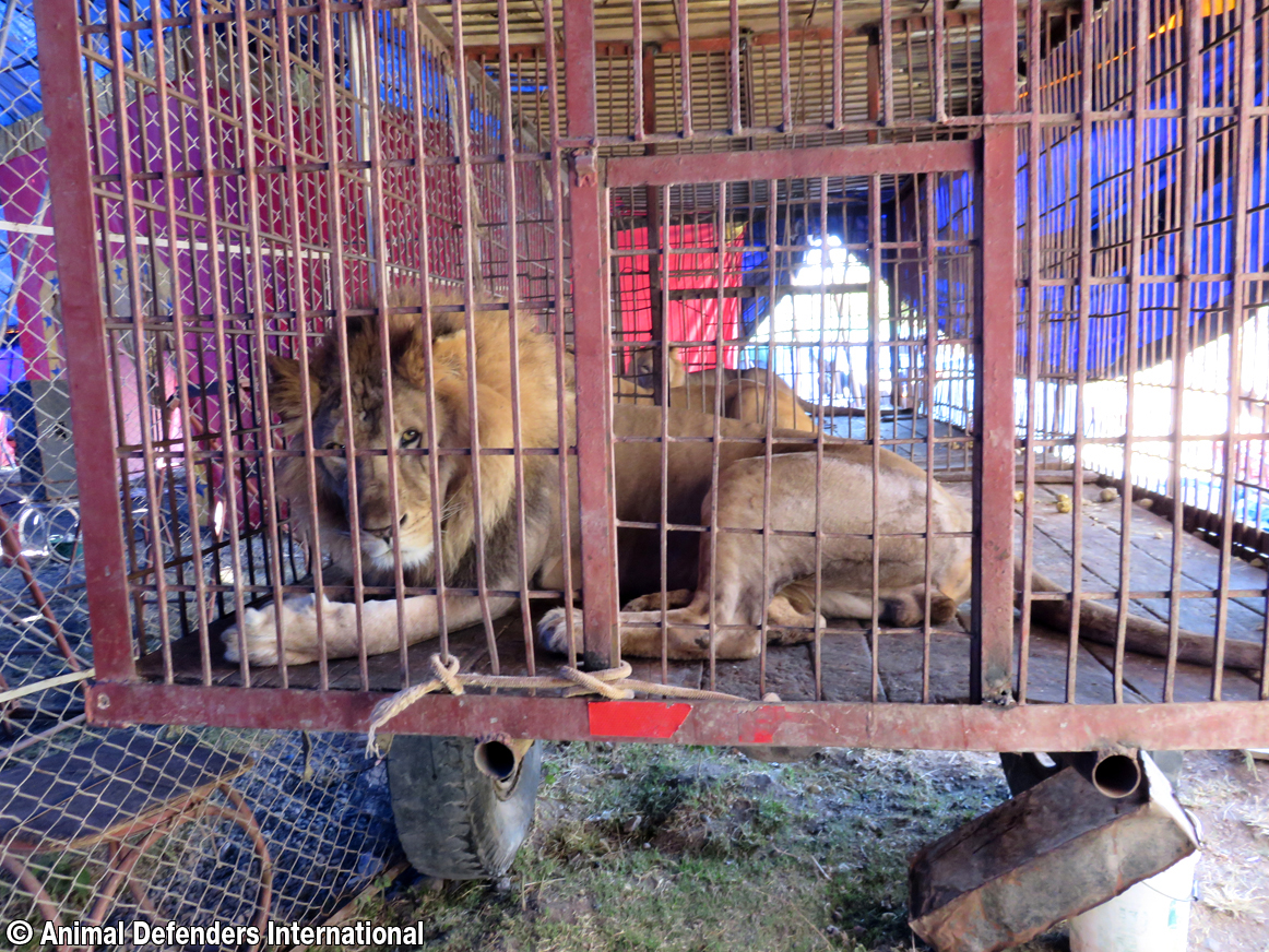 <p>These lions were confiscated in Cuzco after Peru banned wild animals in circuses.</p>