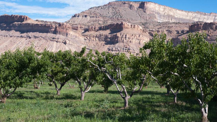Photo: Peach Orchard (iStock)