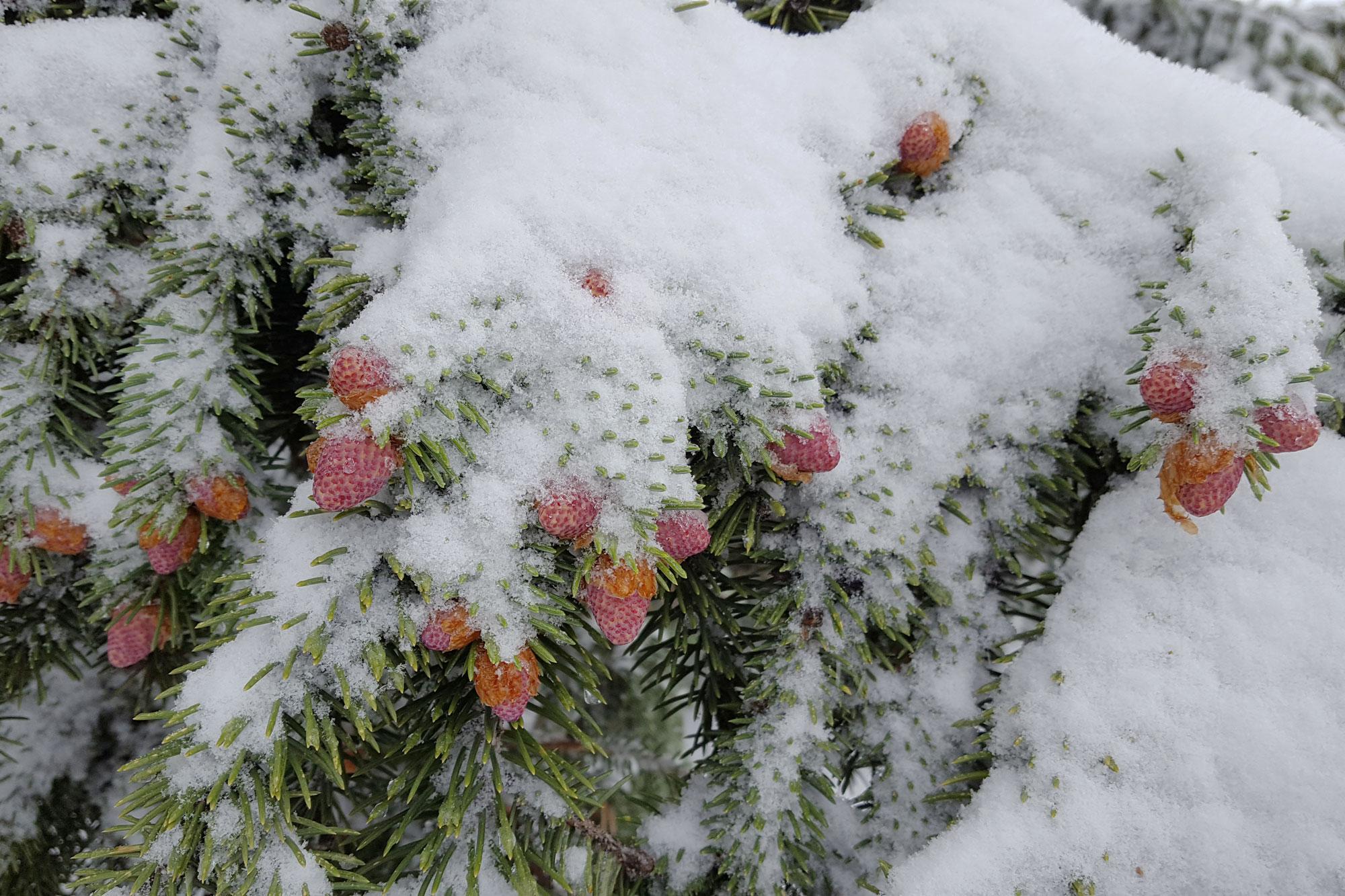 A blue sprucecovered by snow in master gardener Loni Gaudet's garden.</p>