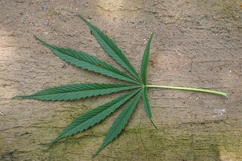 Photo: Marijuana leaf (overused. please avoid this one) (file)