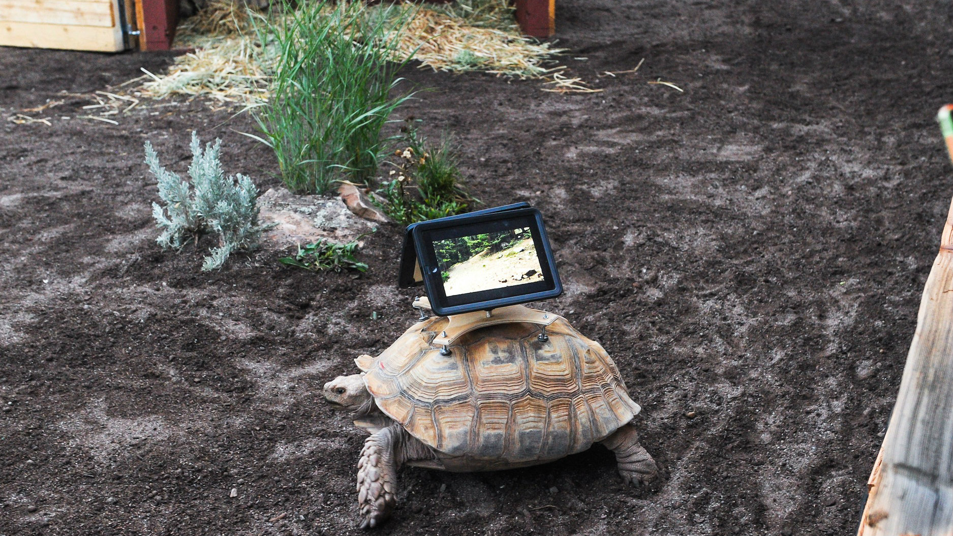 Photo: Tortoise's mounted with iPads at Aspen Art Museum