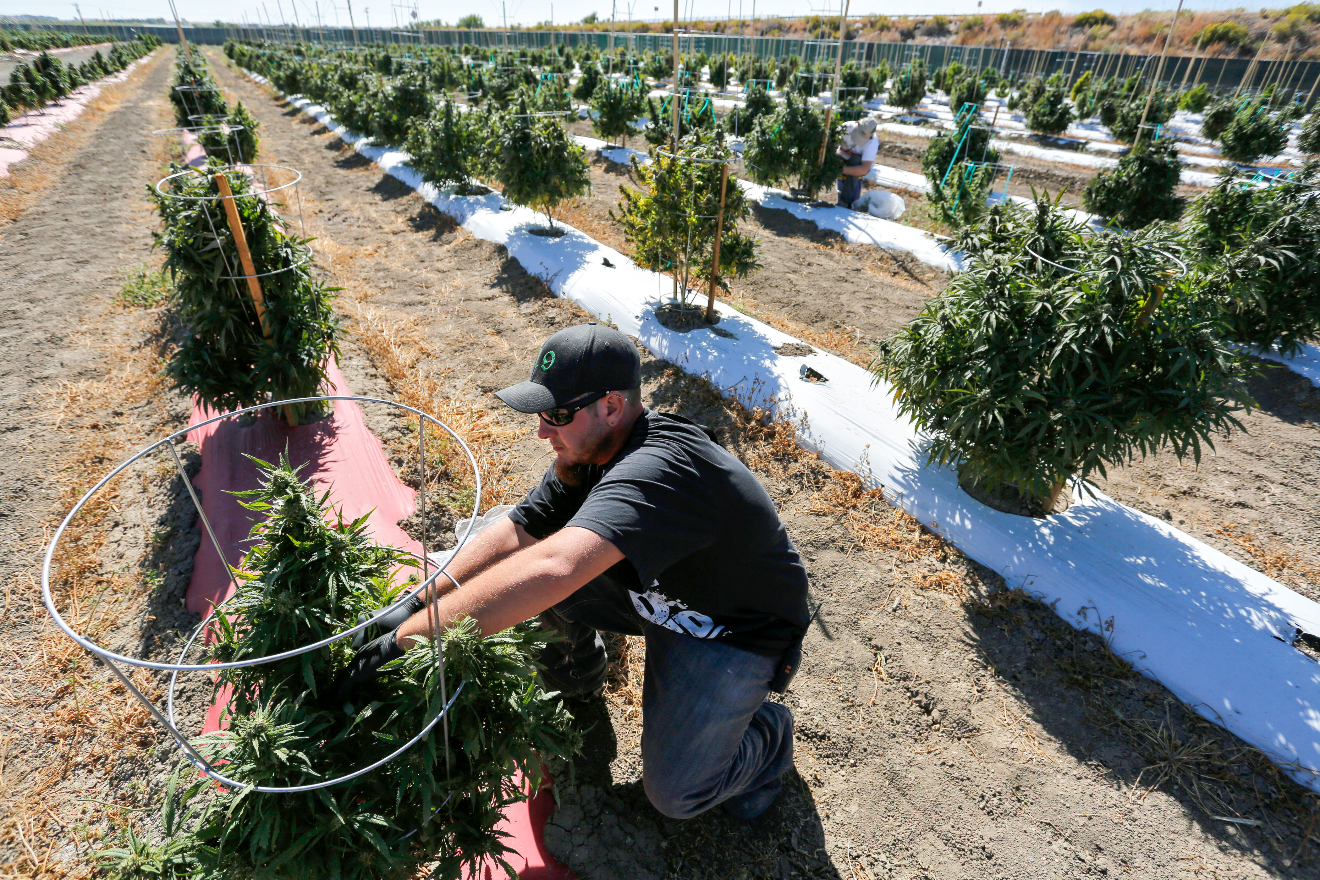 <p>A farmworker tends to soon-to-be-harvested marijuana plants, at Los Suenos Farms in Avondale, southern Colo., Oct. 4, 2016.</p>