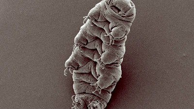 """<p>Tardigrades, featured in the series """"Cosmos,"""" are microscopic creatures that have existed on earth for 500 million years and can survive the vacuum of space.</p>"""