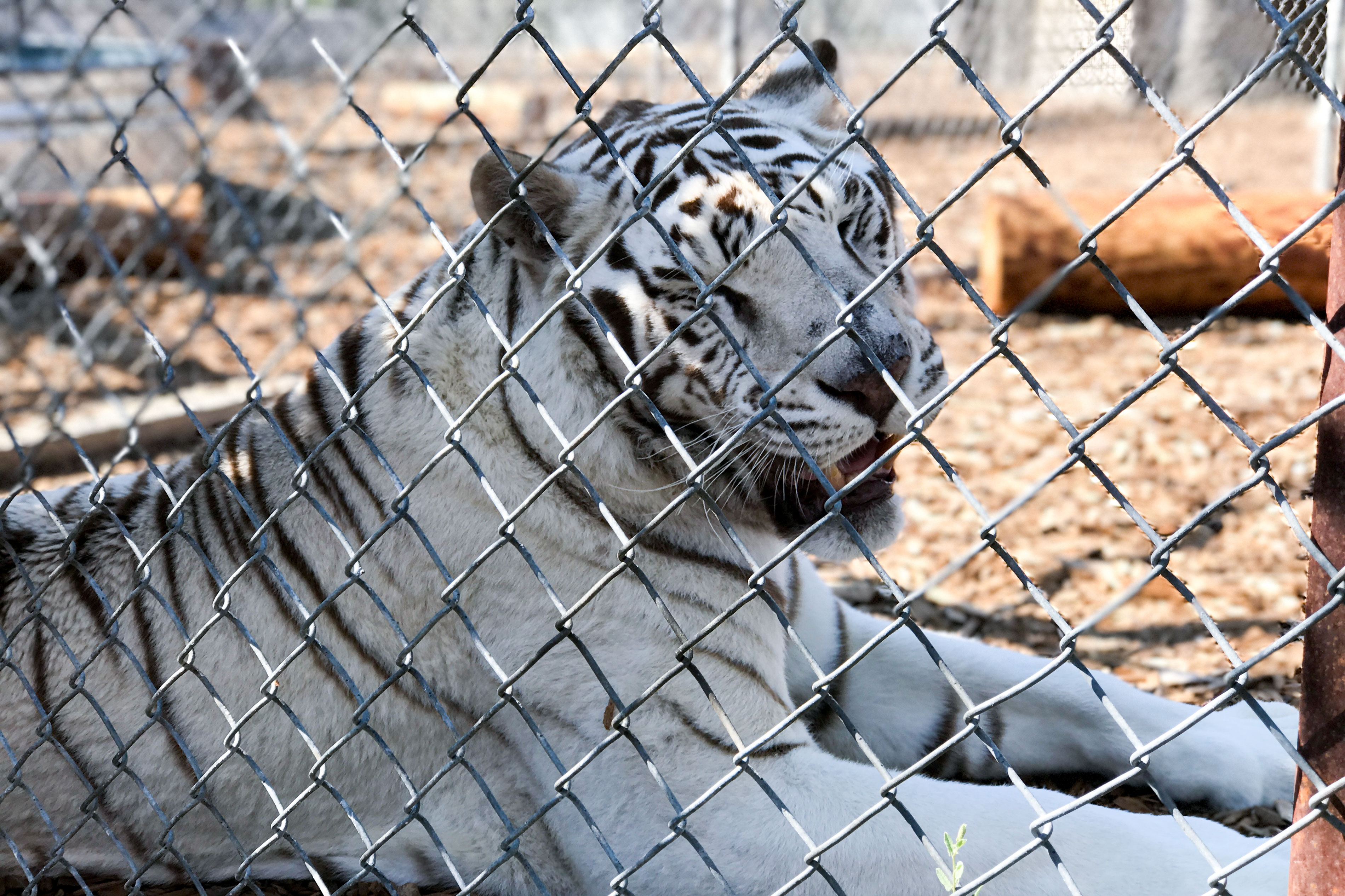 <p>A male white tiger lounges in an enclosure at the Wild Animal Sanctuary. He'll eventually live on acres of land with other tigers.</p>