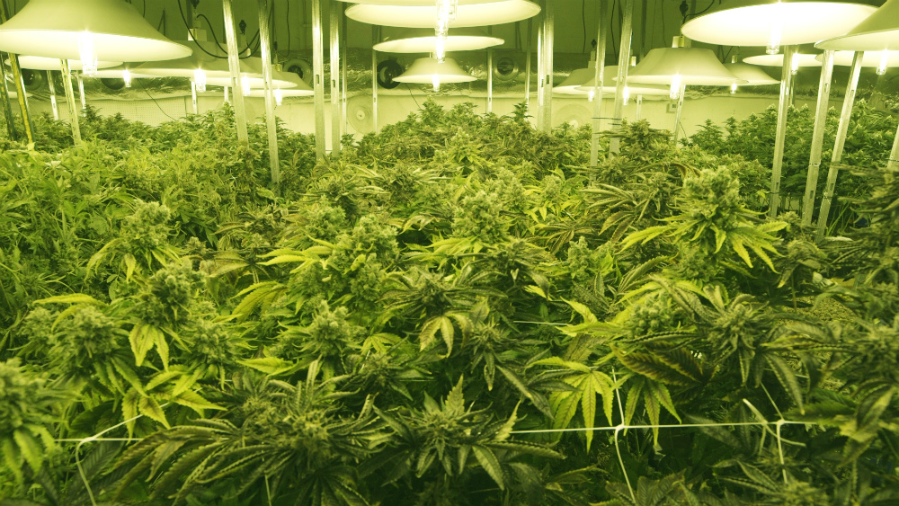 Photo: Stock photo of marijuana grow 1