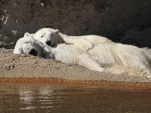 Photo: Polar Bears Cranbeary and Lee at Denver Zoo