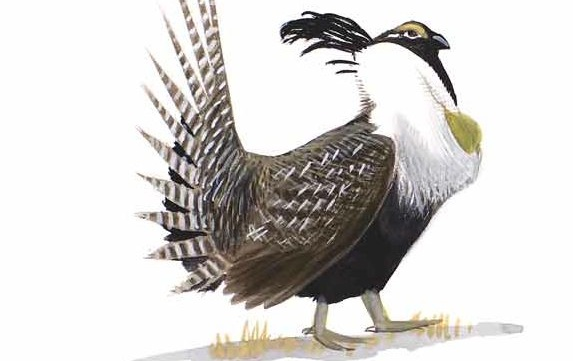 Photo: Sibley illustration Gunnison Sage-Grouse CROPPED