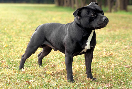 <p>The Staffordshire Bull Terrier is also banned.</p>