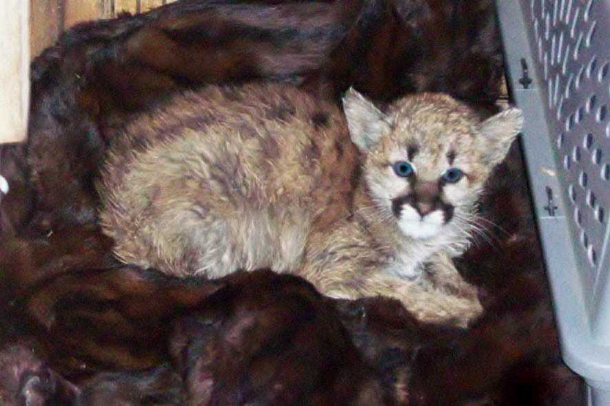 Photo: Mountain Lion Kitten Fed Brautwurst