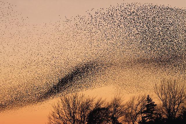 <p>A murmuration of starlings.</p>