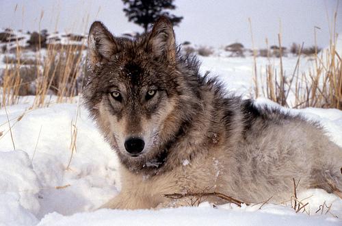 Photo: Grey wolf