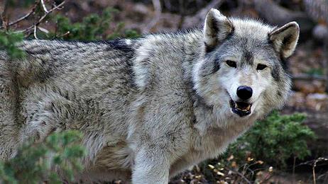 Photo: Wolf dog