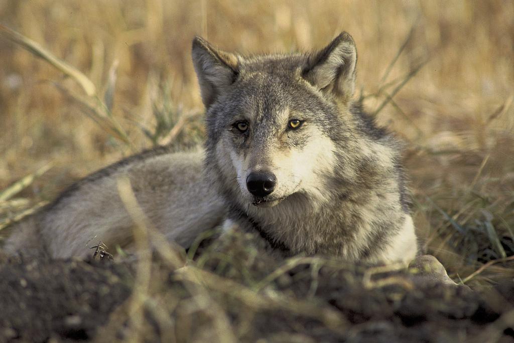 Photo: Gray Wolf (Courtesy USFWS/Flickr/Creative Commons)