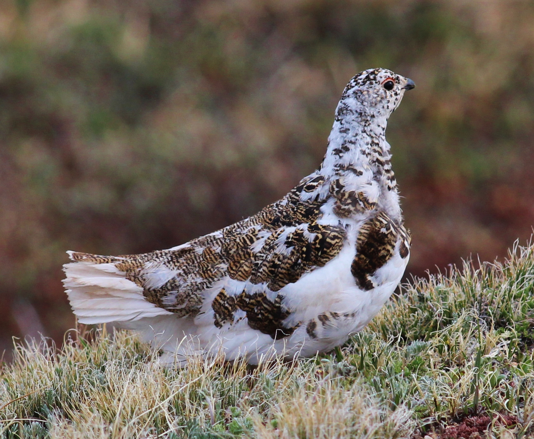 Photo: White-tailed ptarmigan (Flickr)