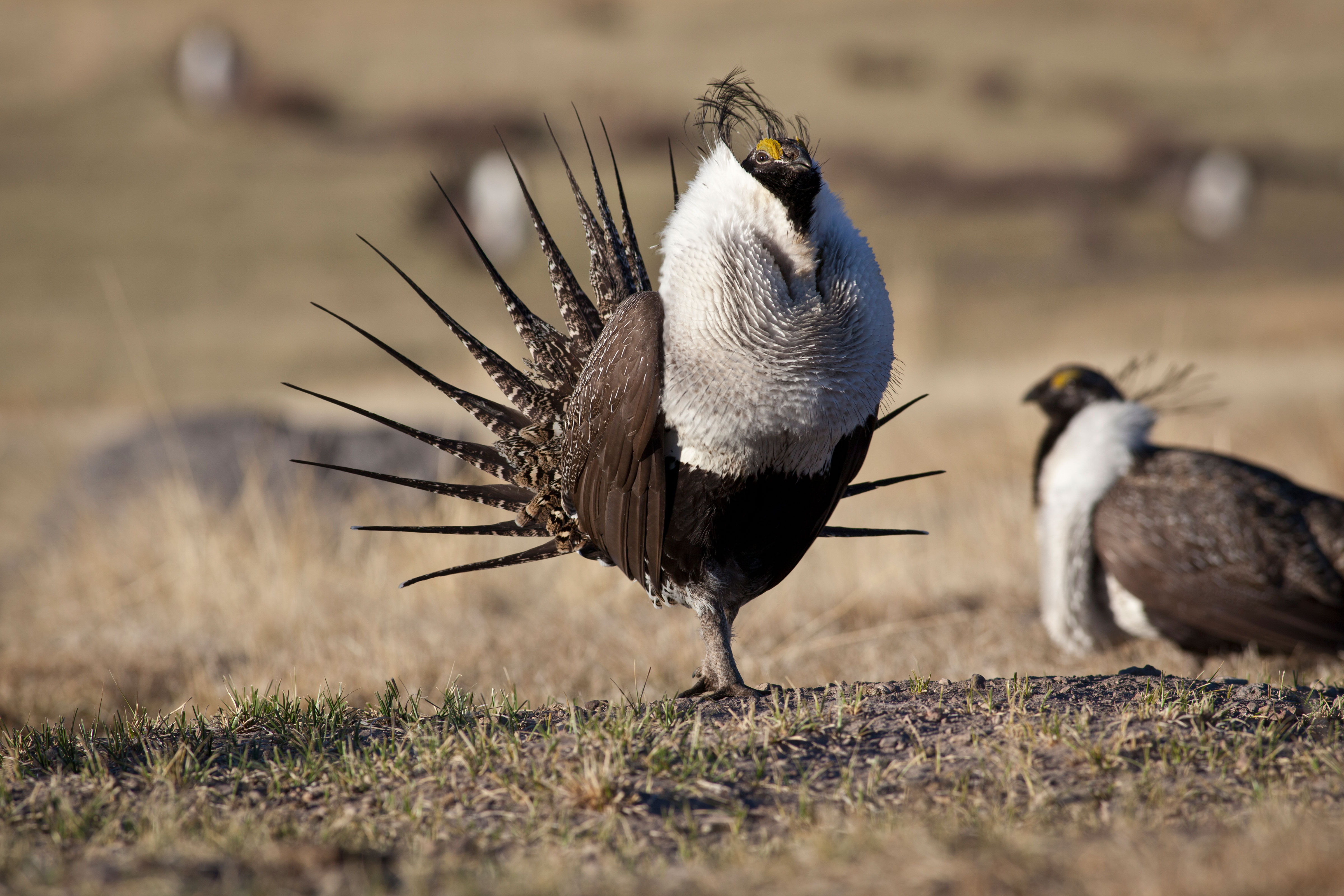 Photo: Greater Sage Grouse | Male Grouse Lek - BLM