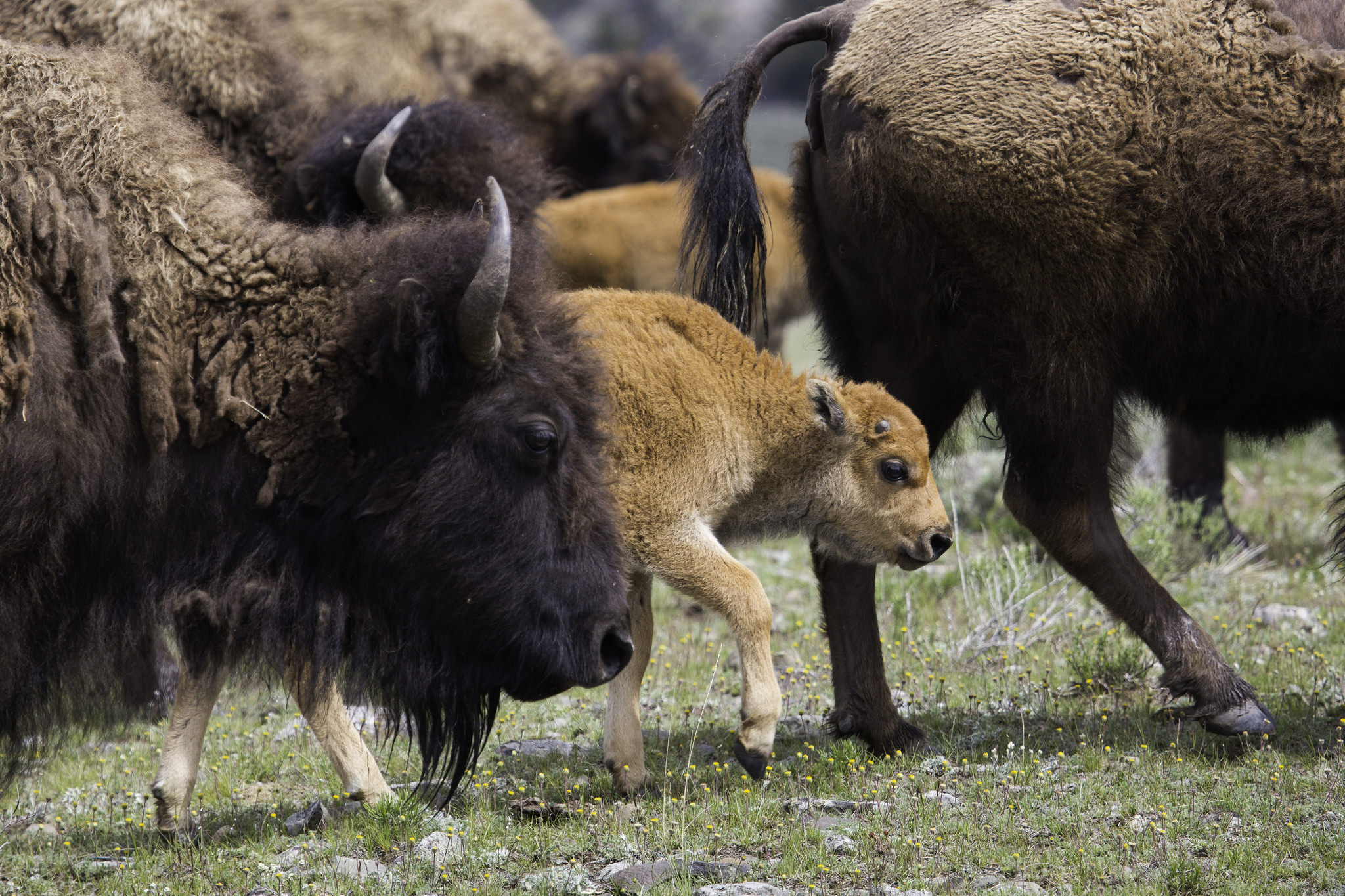 Photo: Bison 5