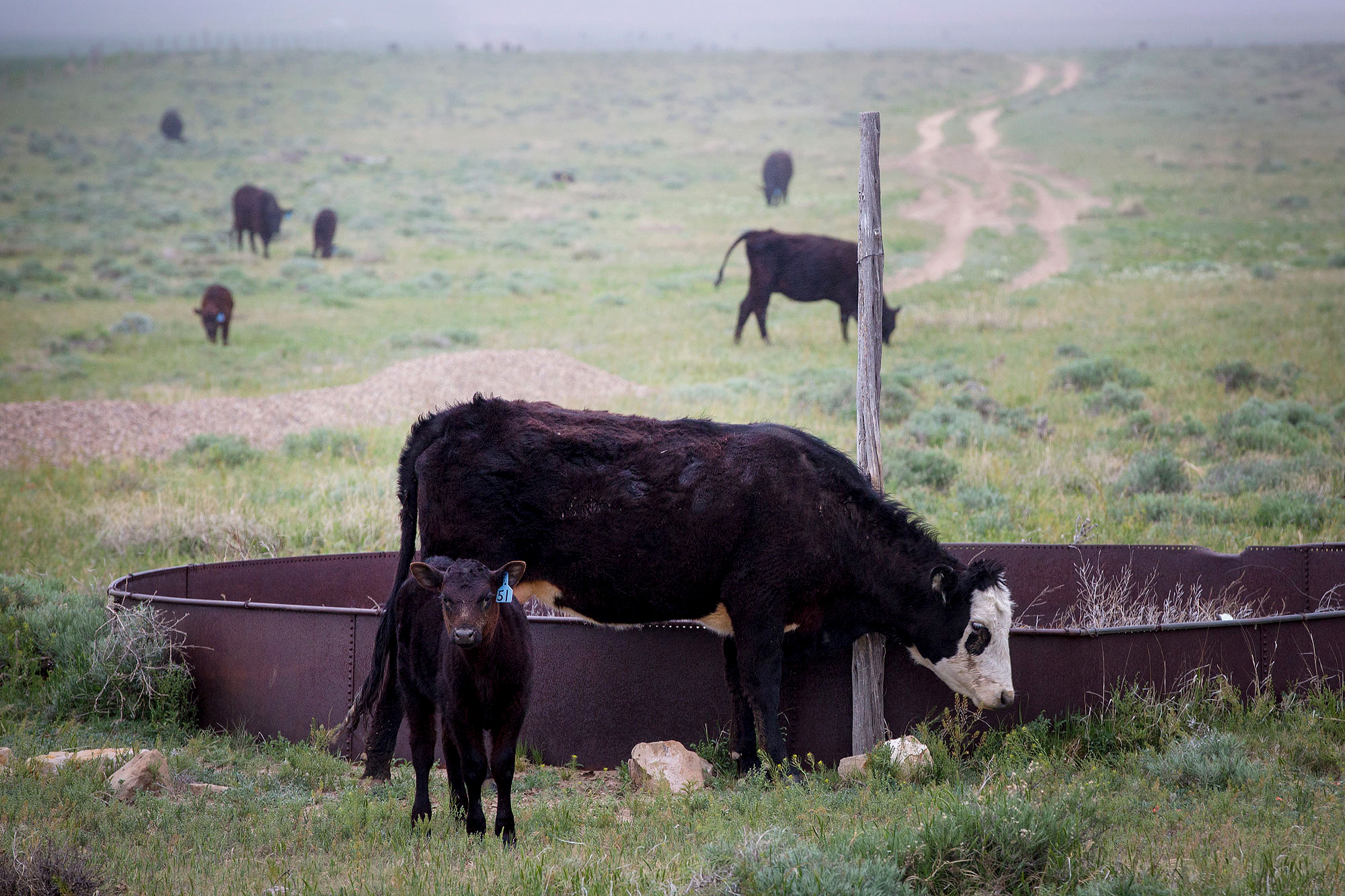Cattle graze alongside Hwy 287 in Baca County May 20, 2019.