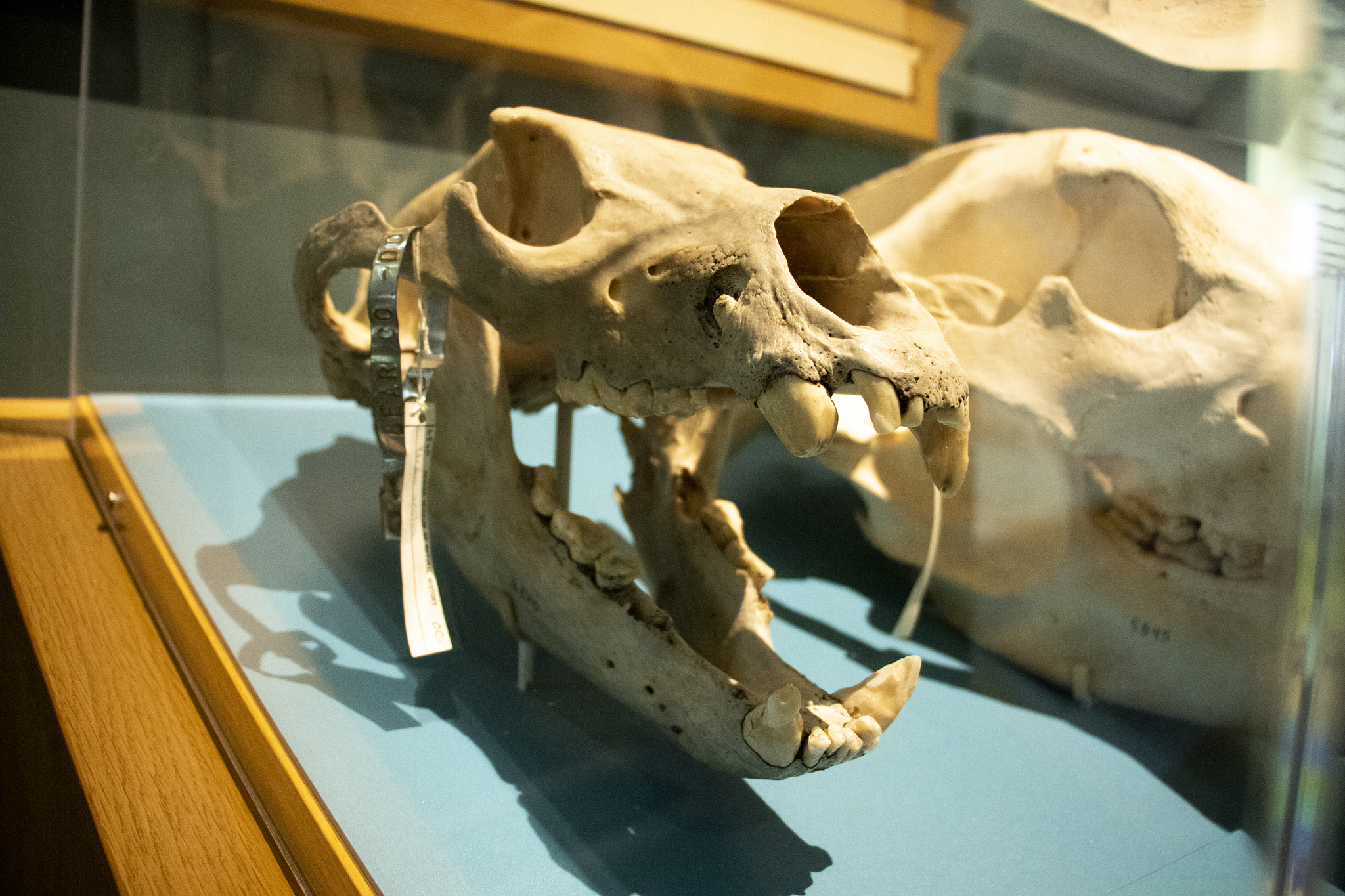 Photo: Grizzly Bear Skull Denver Museum of Nature and Science