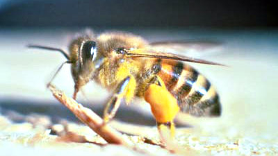 Photo: Africanized honey bee