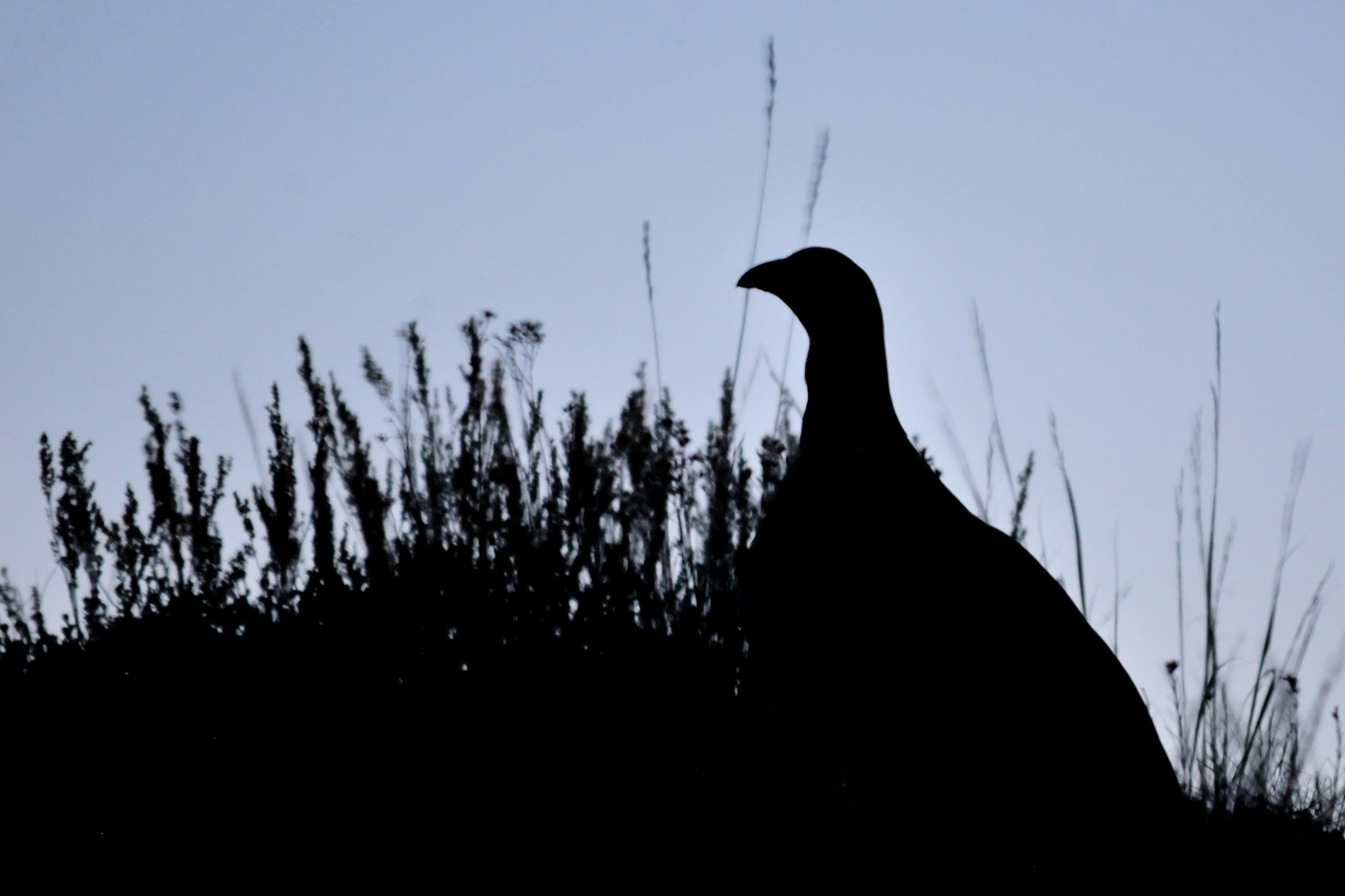 Photo: Greater Sage Grouse | In silhouette - USFWS