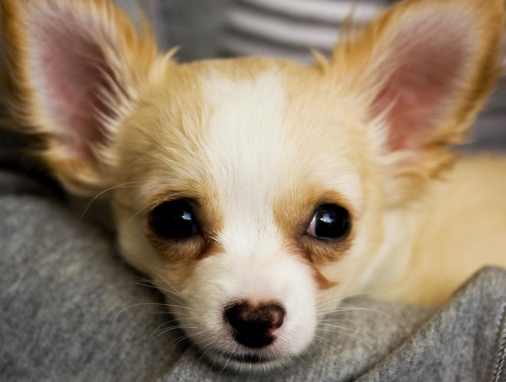 Photo: Chihuahua (FLICKR)