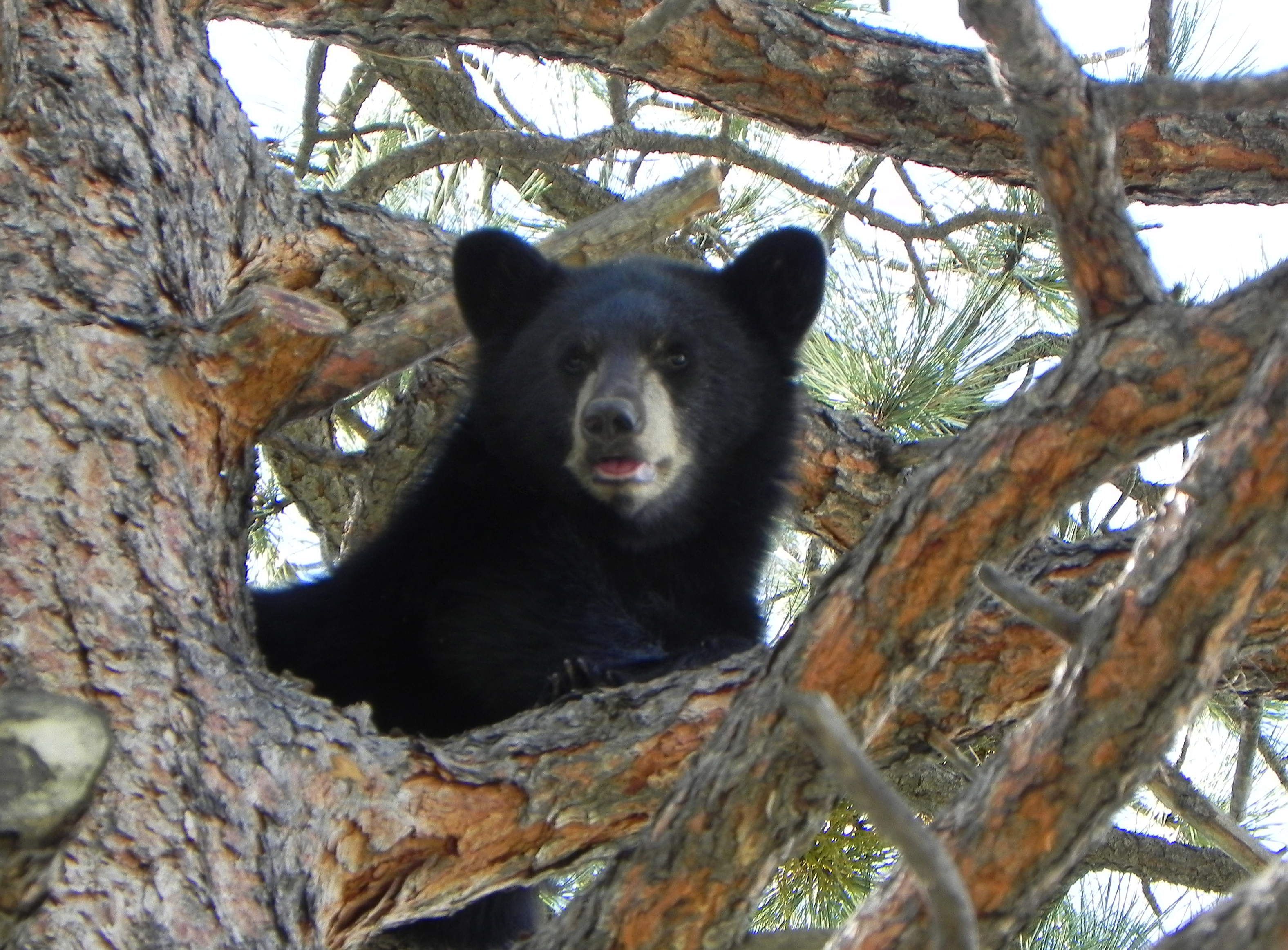 Photo: Black bear in tree