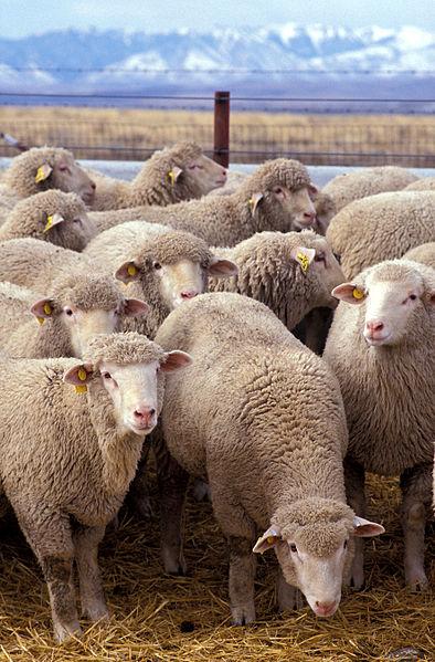 Photo: Sheep grazing public domain