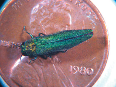 Photo: Adult Emerald Ash Borer on a penny