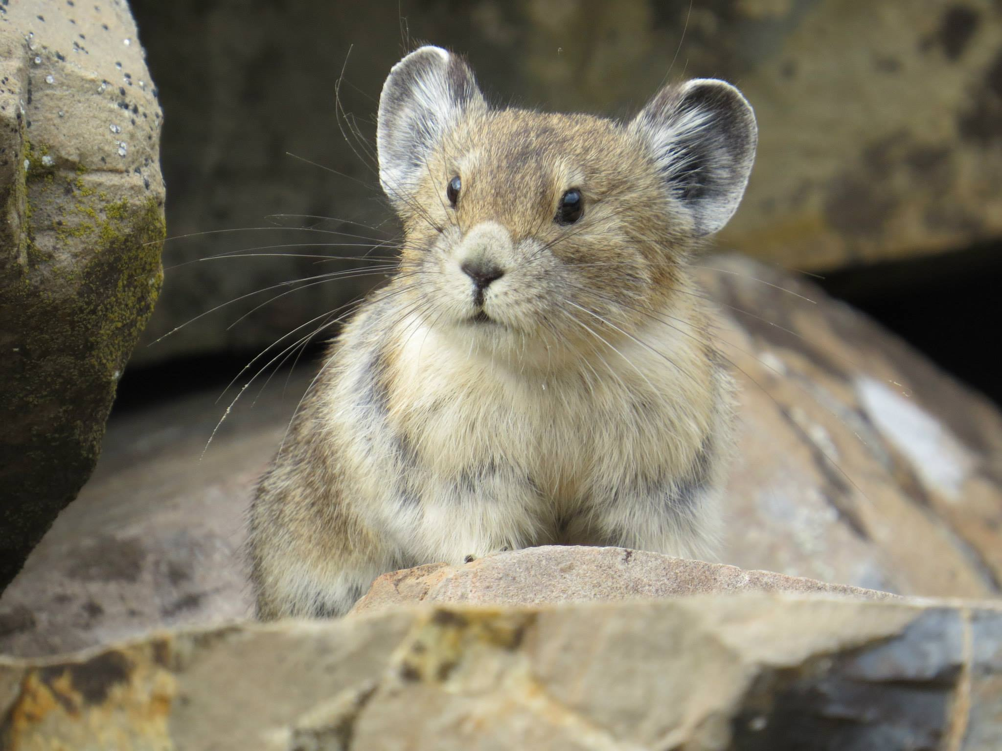 Photo: Pika Climate Change 1 | American Pika - USGS