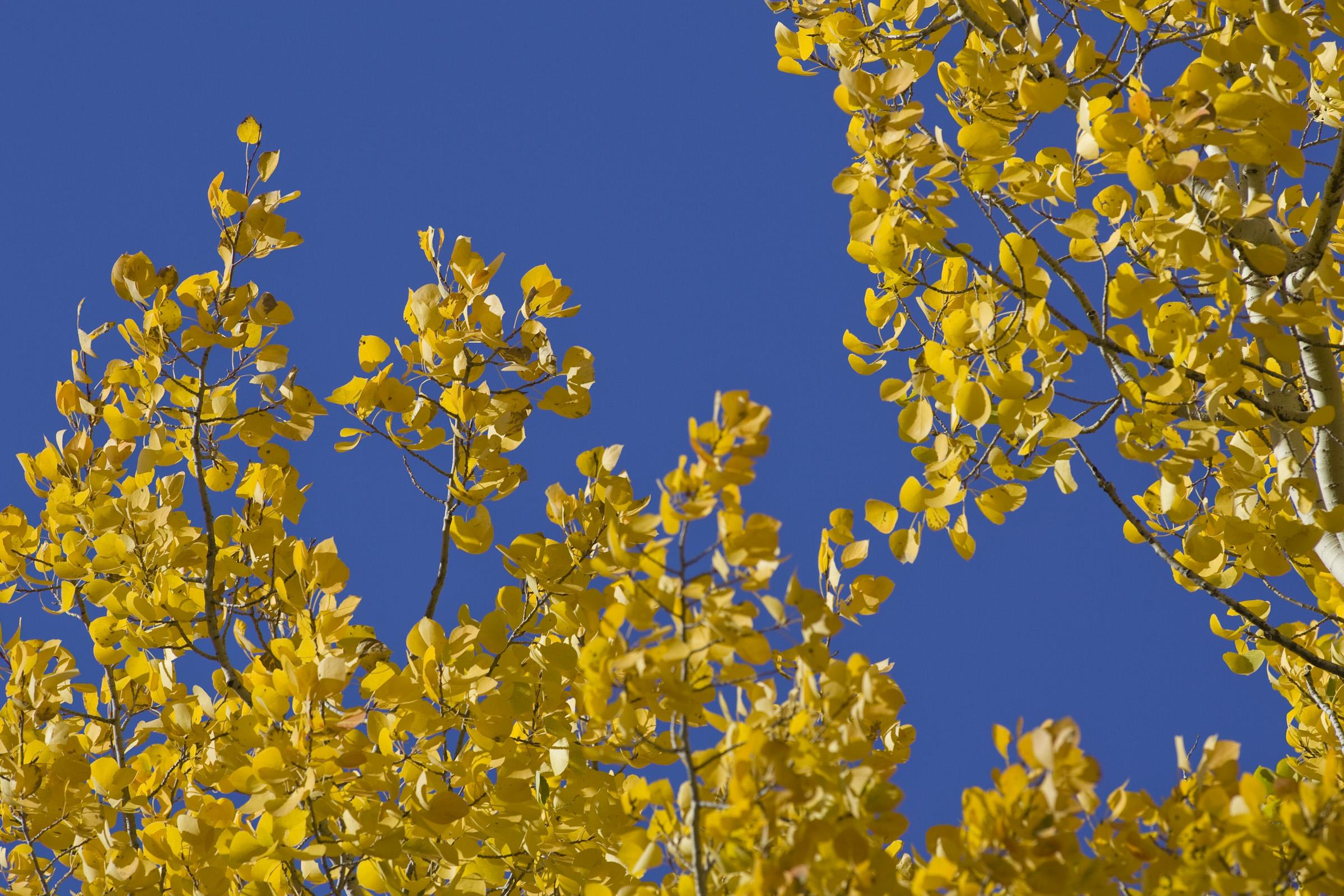 Photo: Aspen trees