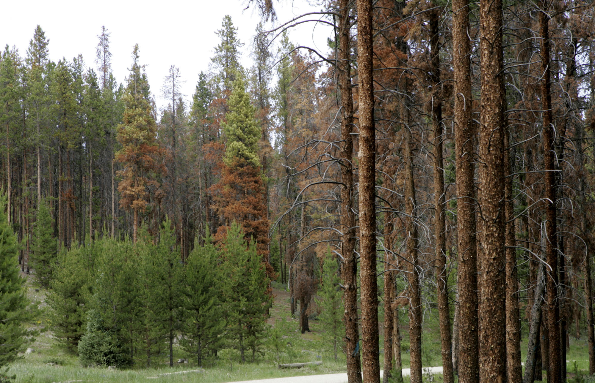 Photo: Pine Beetle kill (AP Photo)