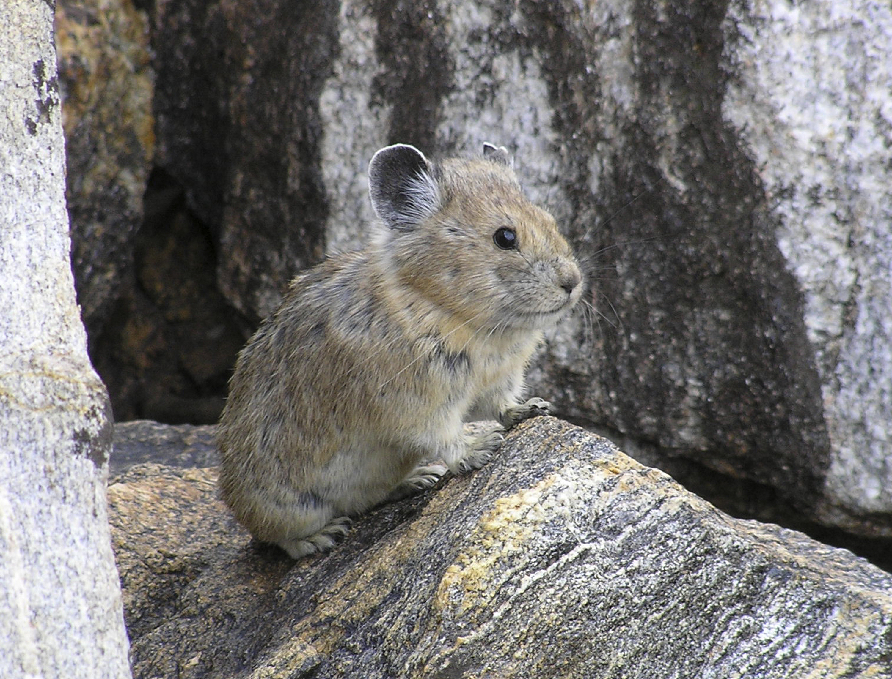 Photo: American Pika (AP Photo)
