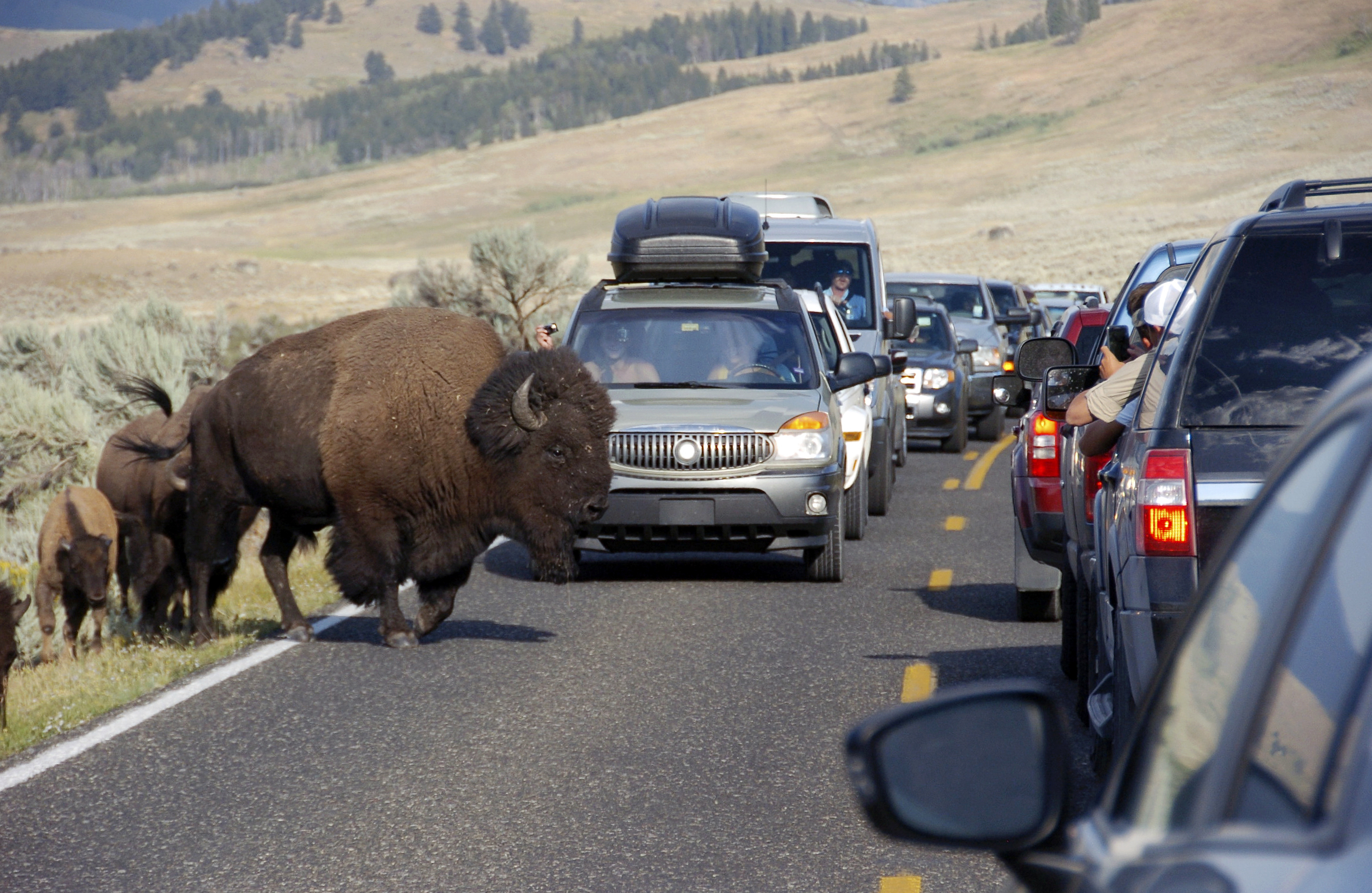 Photo: Bison Family Amid Massive Traffic Jam In Yellowstone National Park