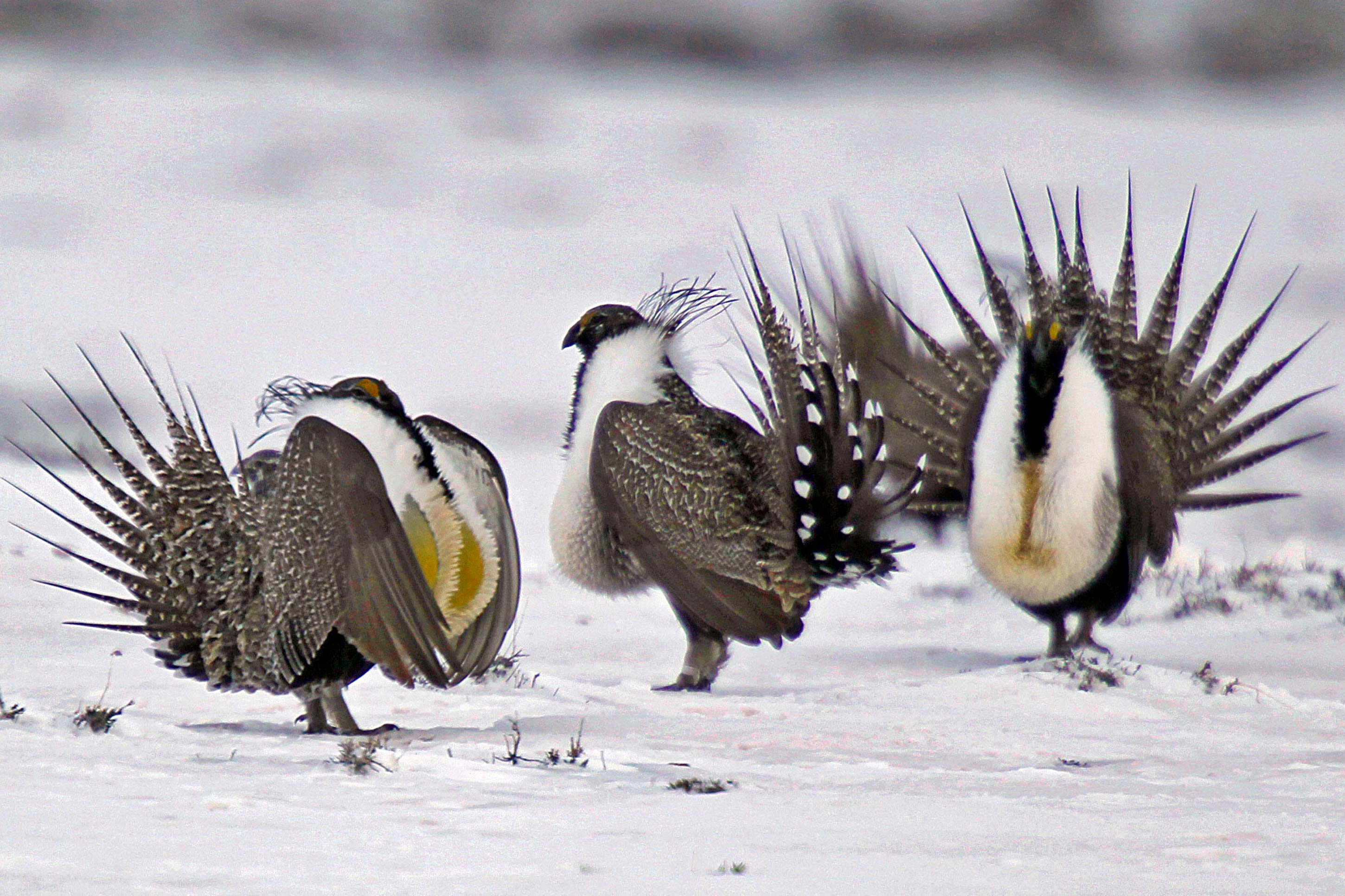 Photo: Greater Sage Grouse | Walden, Colo - AP