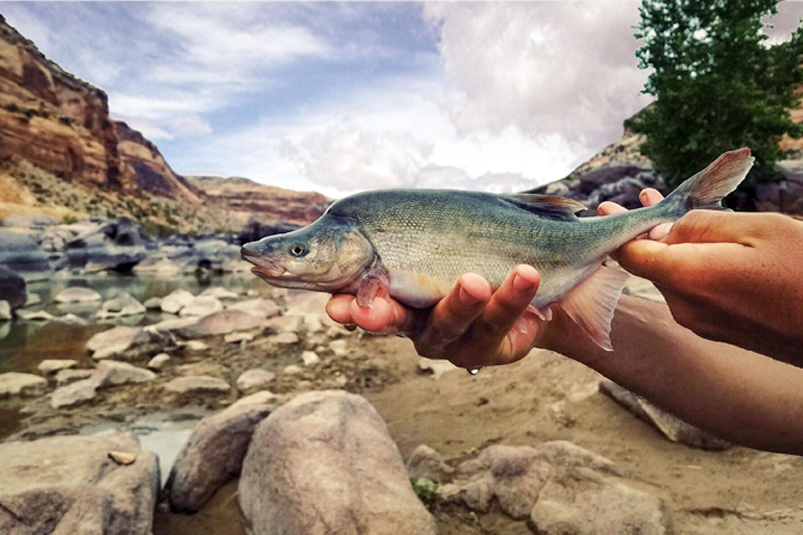 Photo: Humpback Chub | Colorado River - USFWS via AP