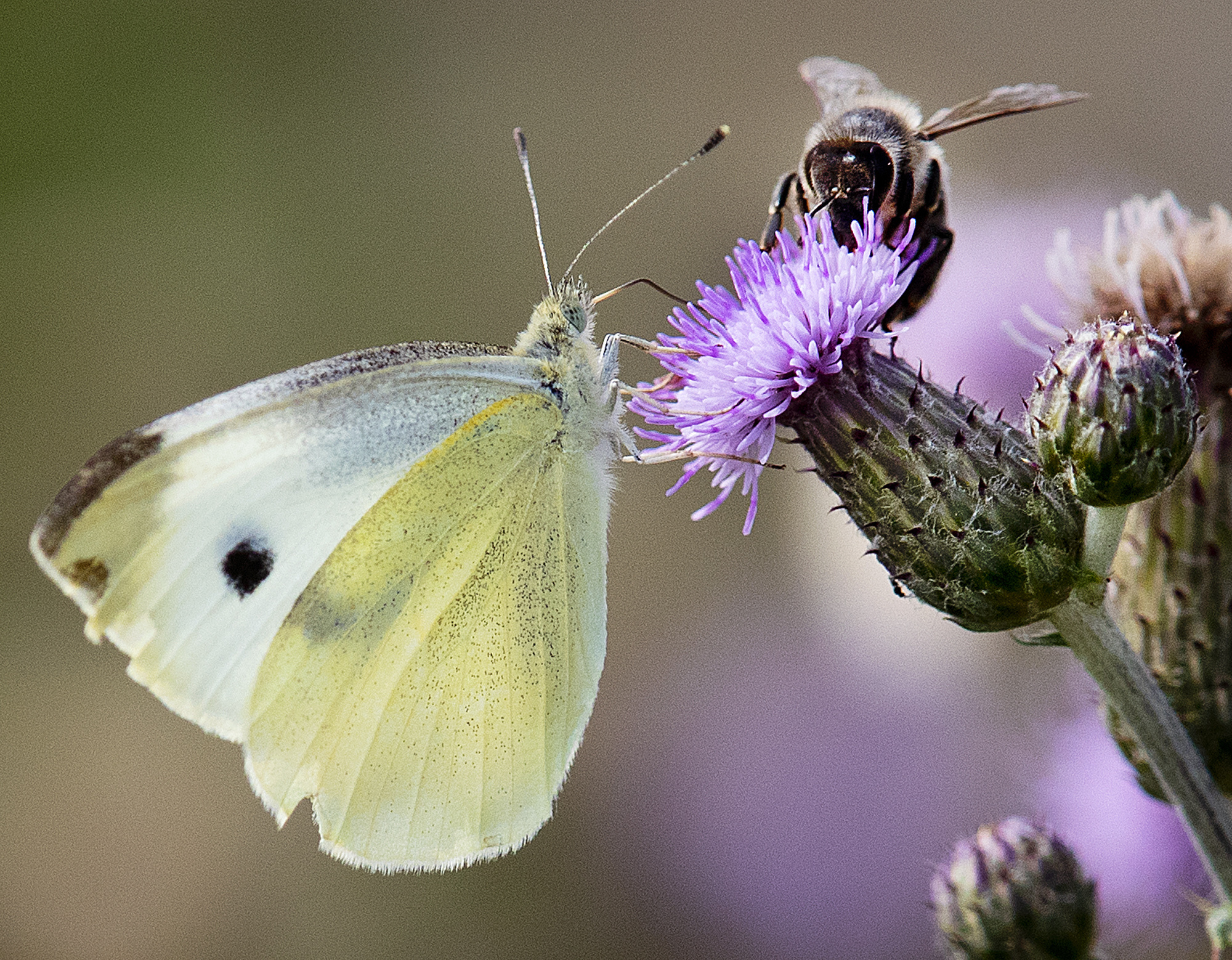 Photo: Bees and butterflies pollinating - AP Photo