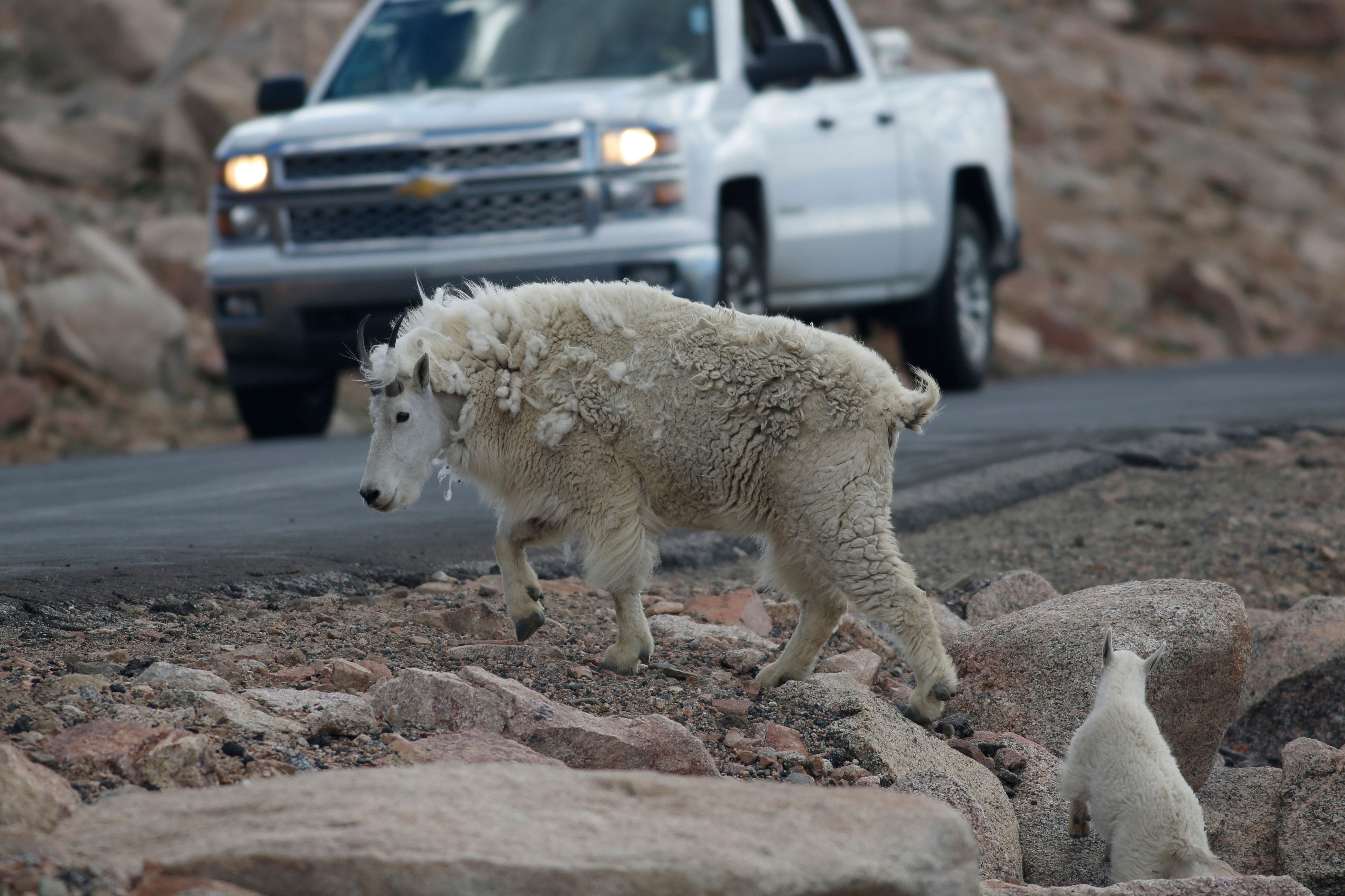 Photo: Colorado Mountain Goat | Mount Evans - AP