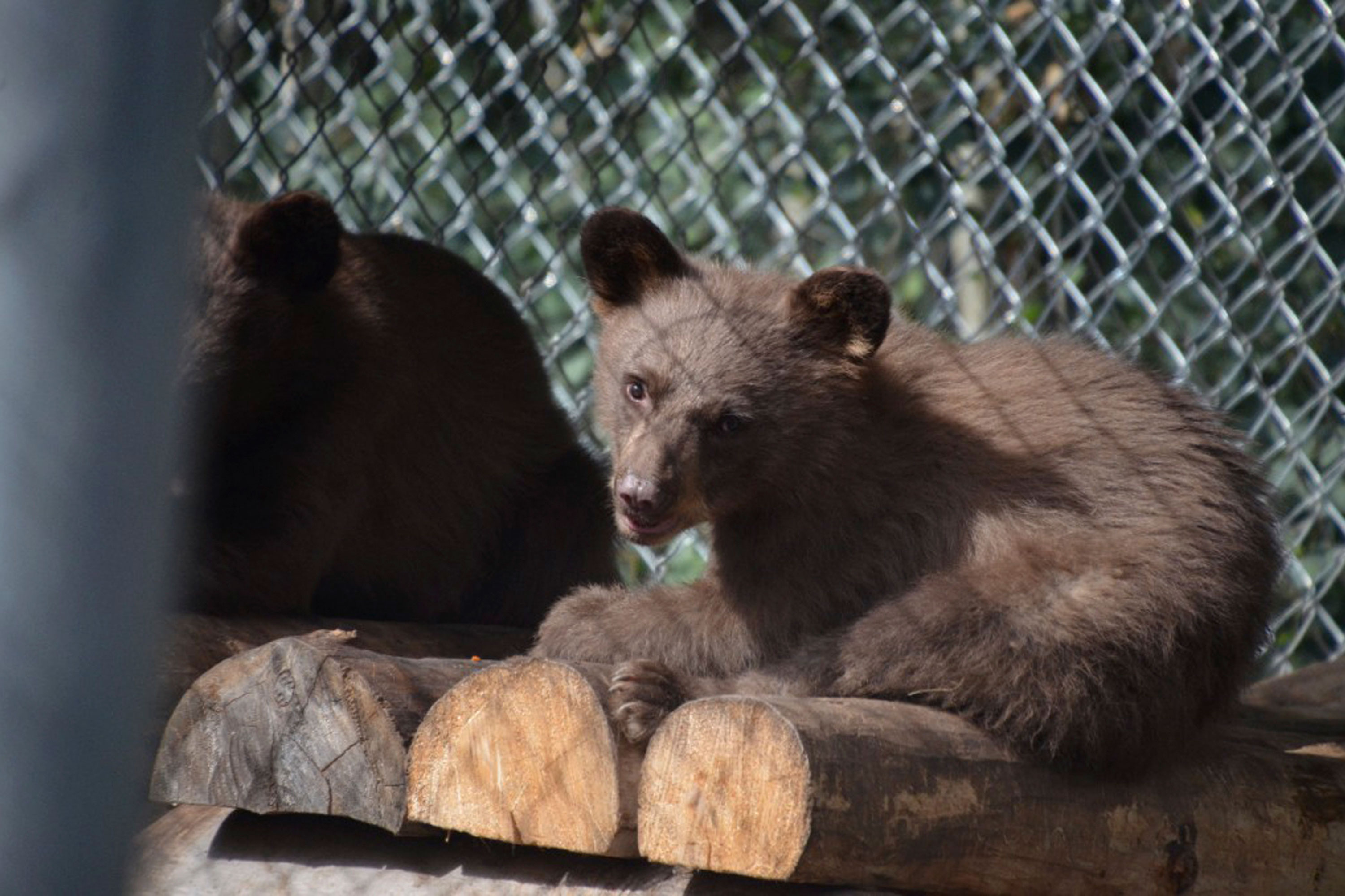 Photo: 416 Fire Bear Cub Released | Bear In Rehab - Courtesy